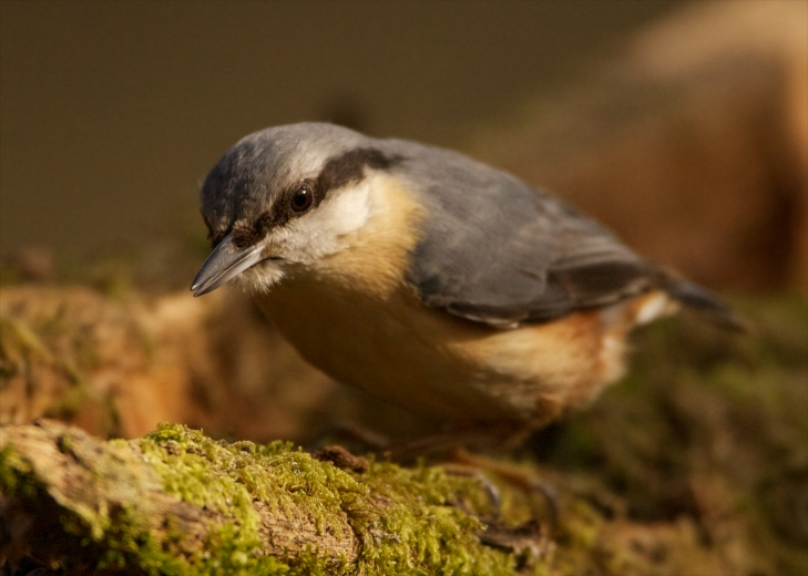 Nuthatch in Penllergare Woods by Martin Pulling (June 2013)